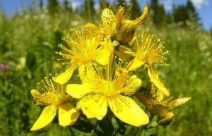 botanicheskaya-harakteristika
