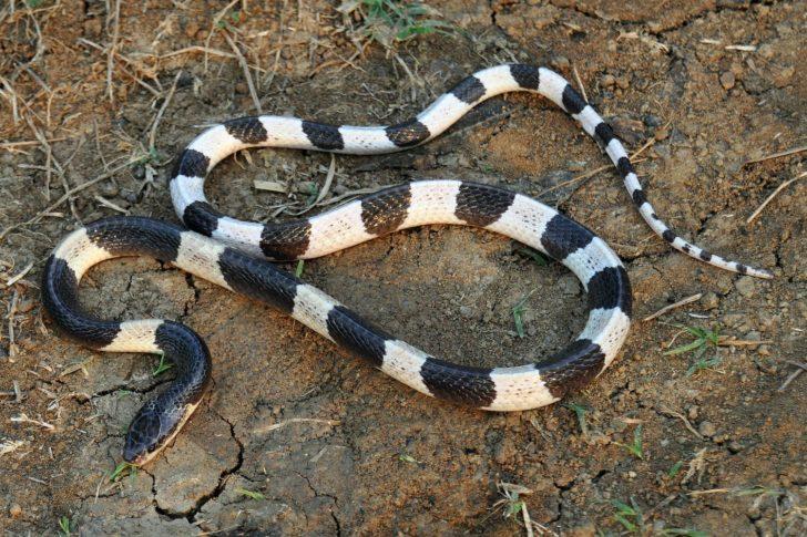 Екзотична змія малайський крайт надзвичайно отруйна