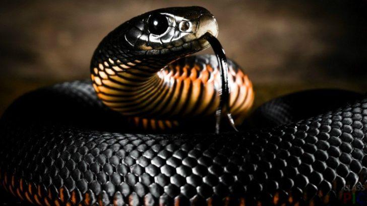 Чорна мамба відноситься до сімейства зміїна і є однією з найбільш великих отруйних змій