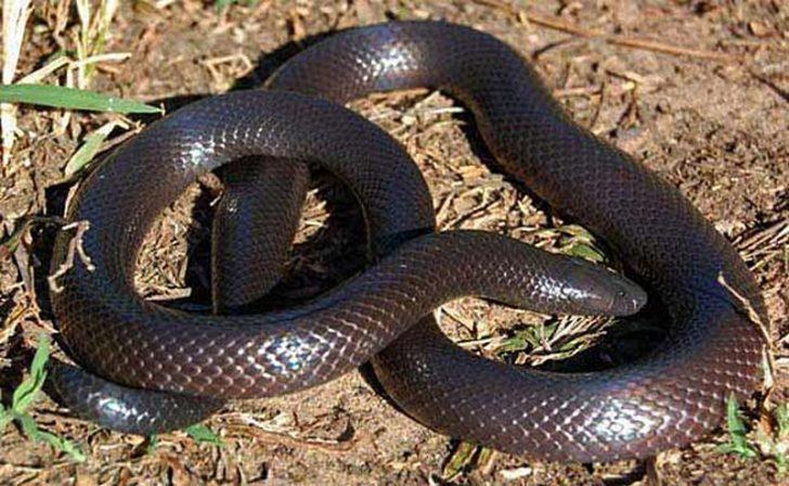 Шпільковая змія виробляє вкрай отруйний секрет