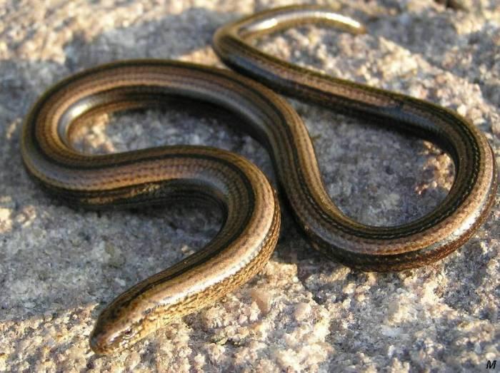Мідянка - неотруйна змія, яка може вкусити при сильному переляку