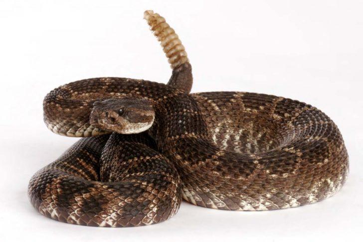 Мешканець тропіків гримуча змія може стати причиною загибелі необережного туриста