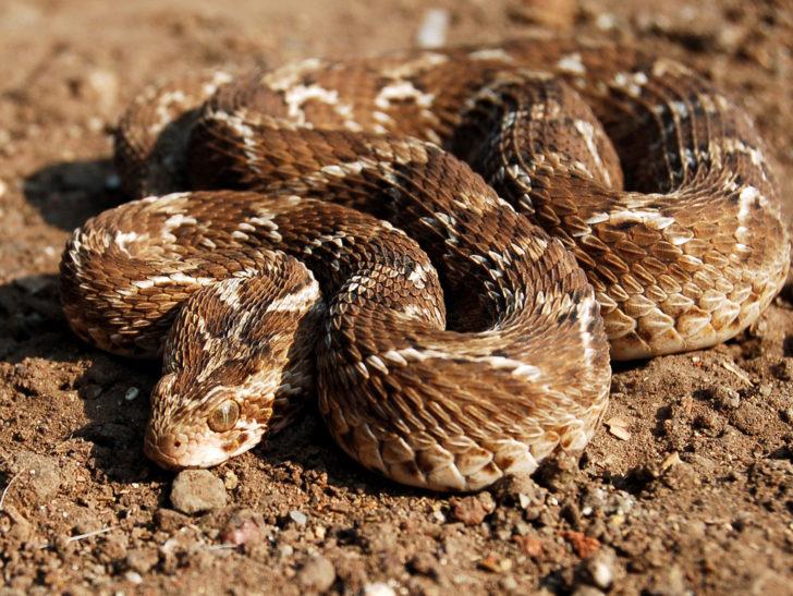 Пустельна змія ефа - одне з найнебезпечніших тварин Середньої Азії