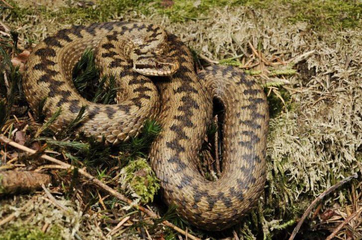 Гадюки - найбільш поширені отруйні змії на території України