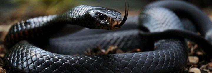Вкусила змія: симптоми, невідкладна допомога, лікування
