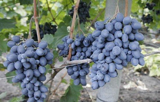 Вирощування винограду «Фуршетний»: опис. Переваги та недоліки винограду «Фуршетний», особливості сорту