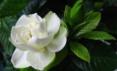Гарденія - опис, види, догляд за за домашньою рослиною