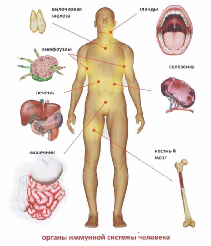 Імунна система розташовується по всьому організму