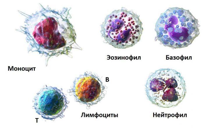 Лейкоцити - основні захисники організму від бактерій і вірусів