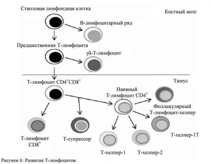 Вірус вражає СD4 + лімфоцити з сімейства Т-лімфоцитів