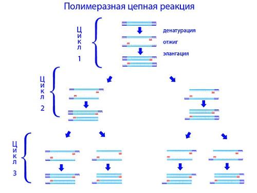 Полімеразна ланцюгова реакція - сучасний метод діагностики ВІЛ-інфекції