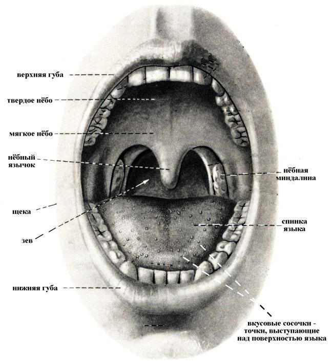 Зів - сукупність кількох анатомічних утворень